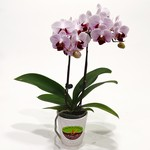 WHITE PINK PHALAENOPSIS ORCHID - Mini